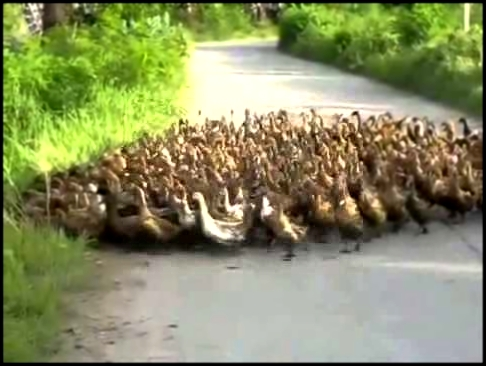 March Of The Ducks (With Rome Total War Soundtrack)